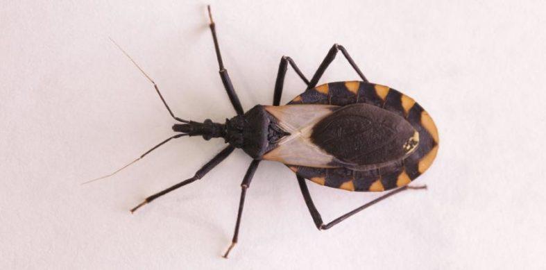 chagas krankheit - Chagas Krankheit