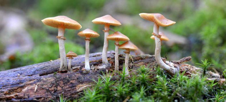 pilze - Pilze (Halluzinogene)