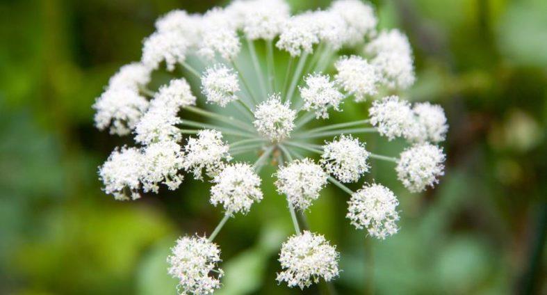 angelika - Phytotherapie mit der Angelika Heilpflanze