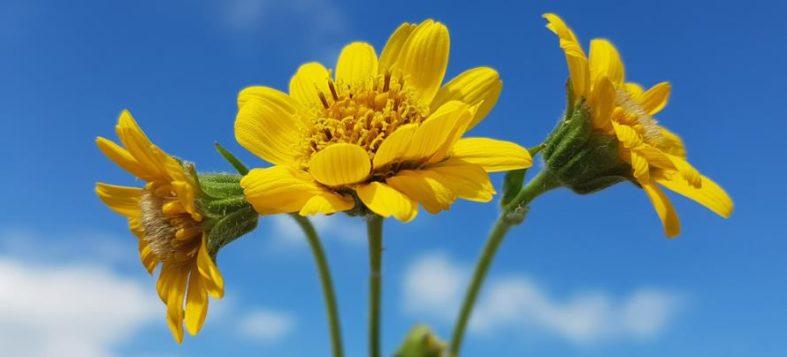 arnika - Arnika Heilpflanze für Medizin und Phytotherapie