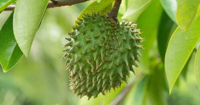 stachelannone - Stachelannone - Wundermittel gegen Krebs?