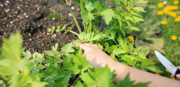 liebstoeckel - Liebstöckel – das Maggikraut mit Heilwirkung