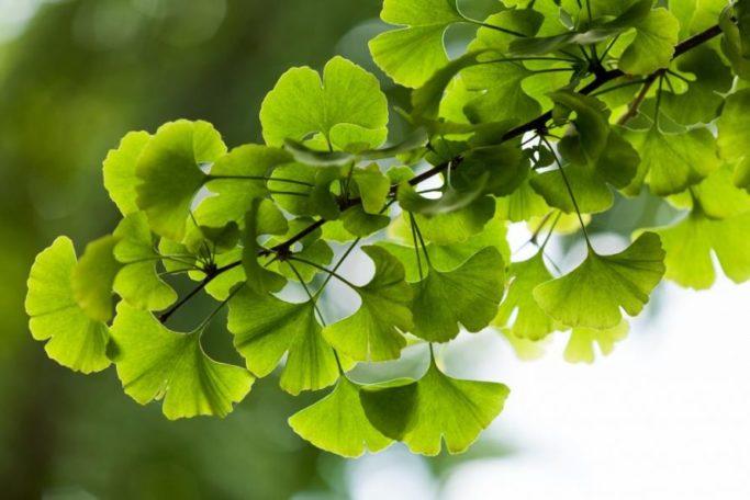 ginkgo pflanze - Die Ginkgopflanze in der Geschichte