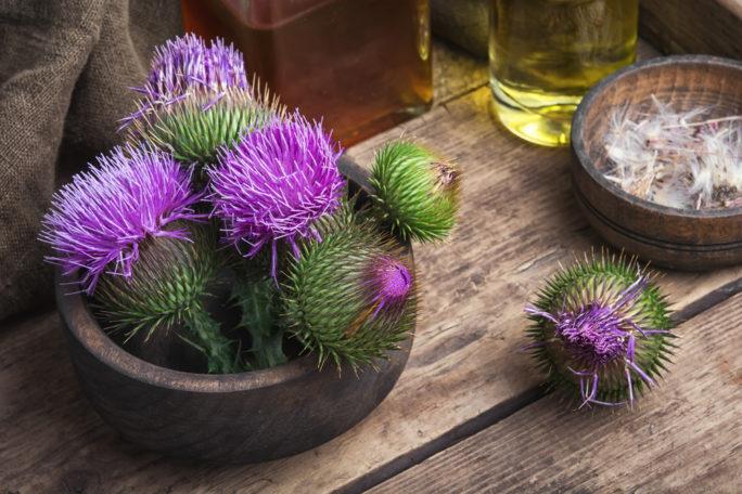 mariendistel - Mariendistel – Pflanze mit Heilkräften